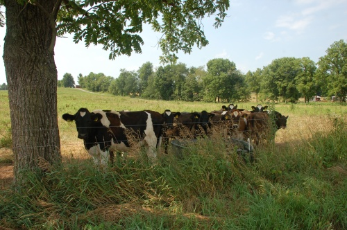 Heifers by Bruce Stambaugh