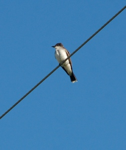 Eastern Kingbird by Bruce Stambaugh