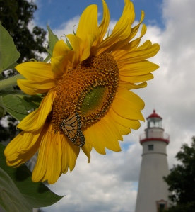 Sunflower at Marblehead Light House by Bruce Stambaugh