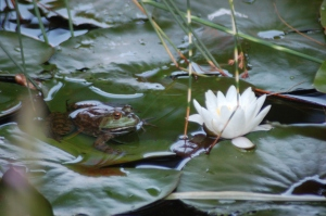 Frog and flower by Bruce Stambaugh