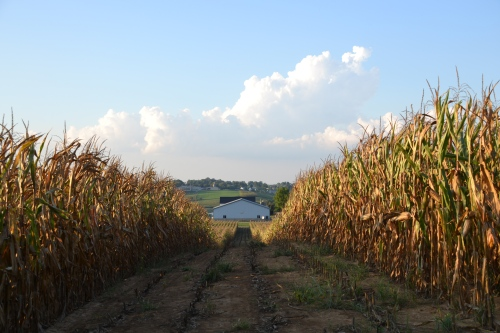 Field corn by Bruce Stambaugh