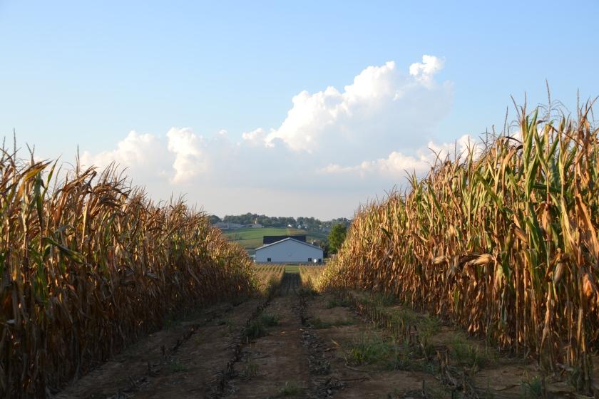 Field corn by Bruce Stambaugh