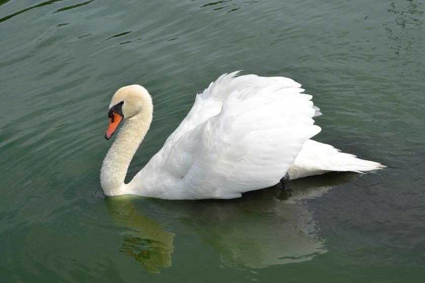 Mute Swan by Bruce Stambaugh
