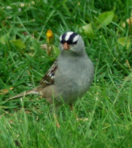 White-crowned sparrow by Bruce Stambaugh