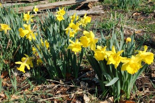 daffodilsbybrucestambaugh