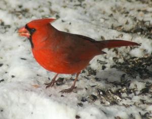 cardinalbybrucestambaugh