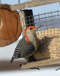 A male Red-bellied Woodpecker frequents the suet feeder. Photo by Bruce Stambaugh