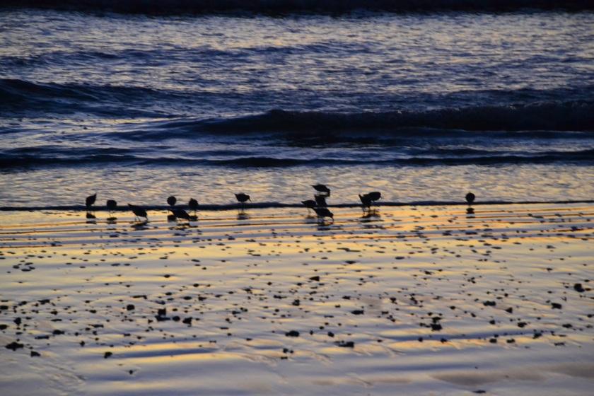 youngshorebirdsbybrucestambaugh