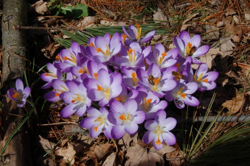 crocusesbybrucestambaugh