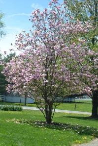 magnoliainbloombybrucestambaugh