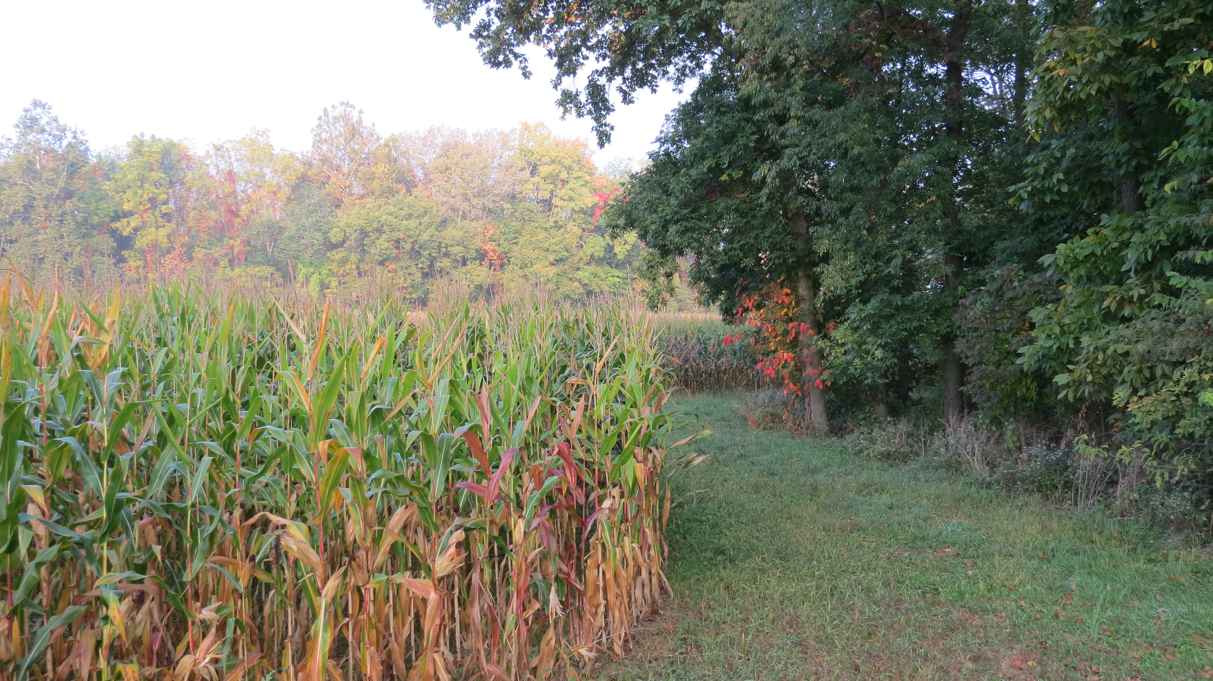 fieldcornbybrucestambaugh
