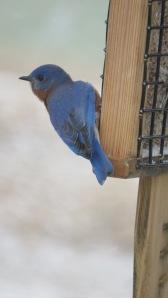 bluebirdbybrucestambaugh
