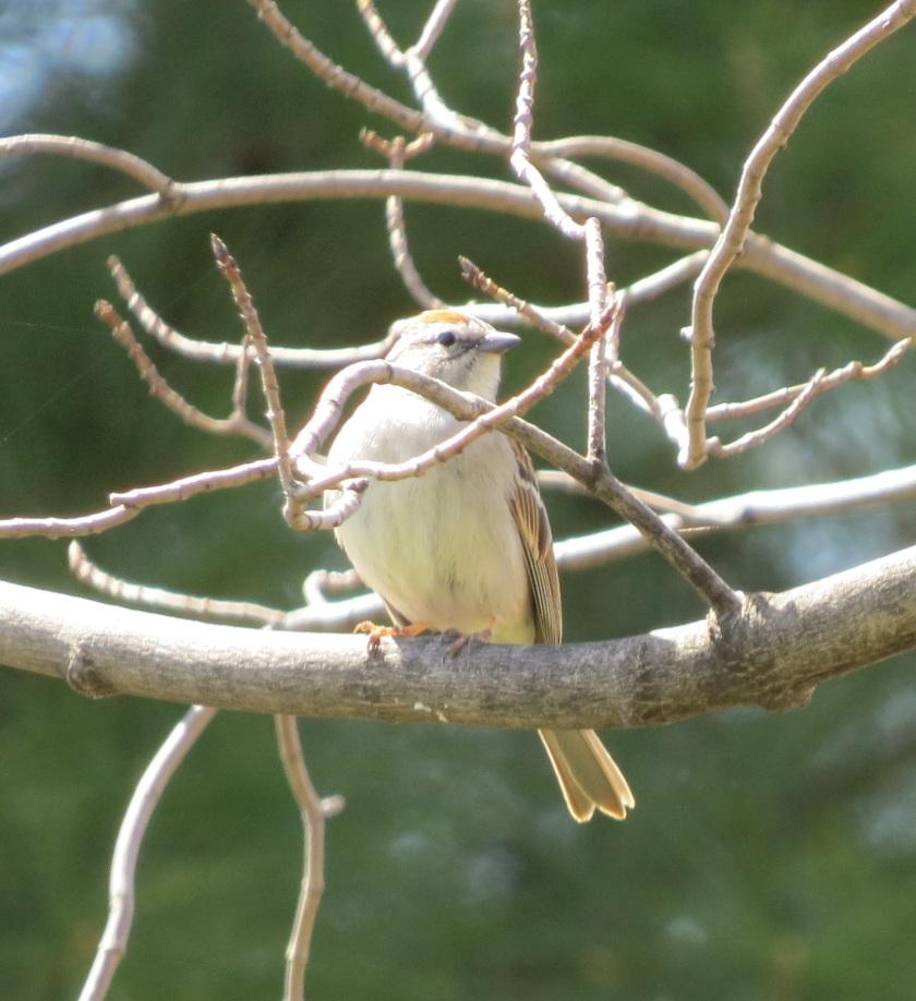 chippingsparrowbybrucestambaugh