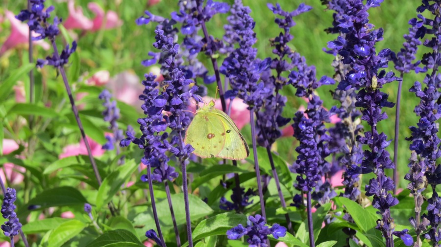 Clouded Sulphur butterfly by Bruce Stambaugh