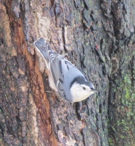 White-breasted Nuthatch by Bruce Stambaugh