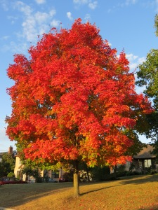 fall colors, red tree, Bruce Stambaugh
