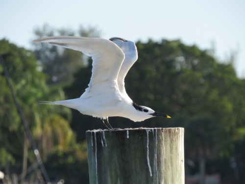 Sandwich Tern, shorebirds, Sarasota Floriada