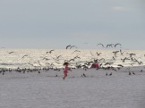 Chasing the gulls. © Bruce Stambaugh 2014.