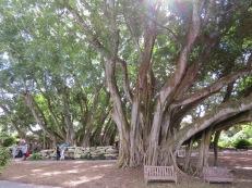big tree, Selby Botanical Gardens, Sarasota Florida