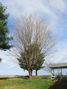 sugar maple, bare tree