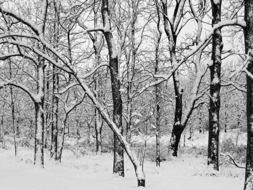 snow, black and white photo, snowy woods