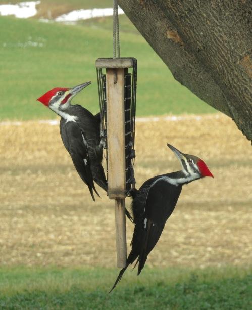 Pileated Woodpeckers, Bruce Stambaugh, birding,
