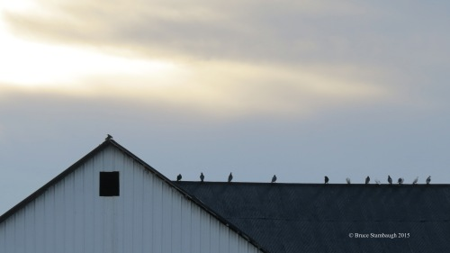 Rock Doves, pigeons, barn roof