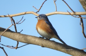 eastern bluebird, songbirds, Bruce Stambaugh