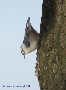 white-breasted nuthatch, Bruce Stambaugh