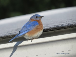 Eastern Bluebird, bluebirds, Bruce Stambaugh