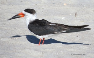 Black Skimmer. © Bruce Stambaugh 2015