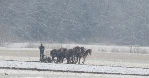 Amish farmer, plowing