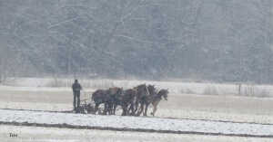 Amish farmer, plowing