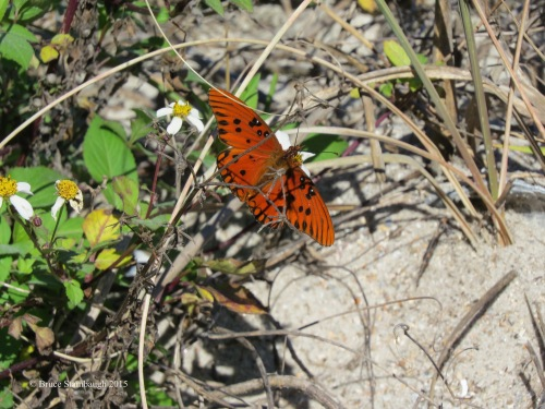 gulf fritillary butterfly, sign of spring