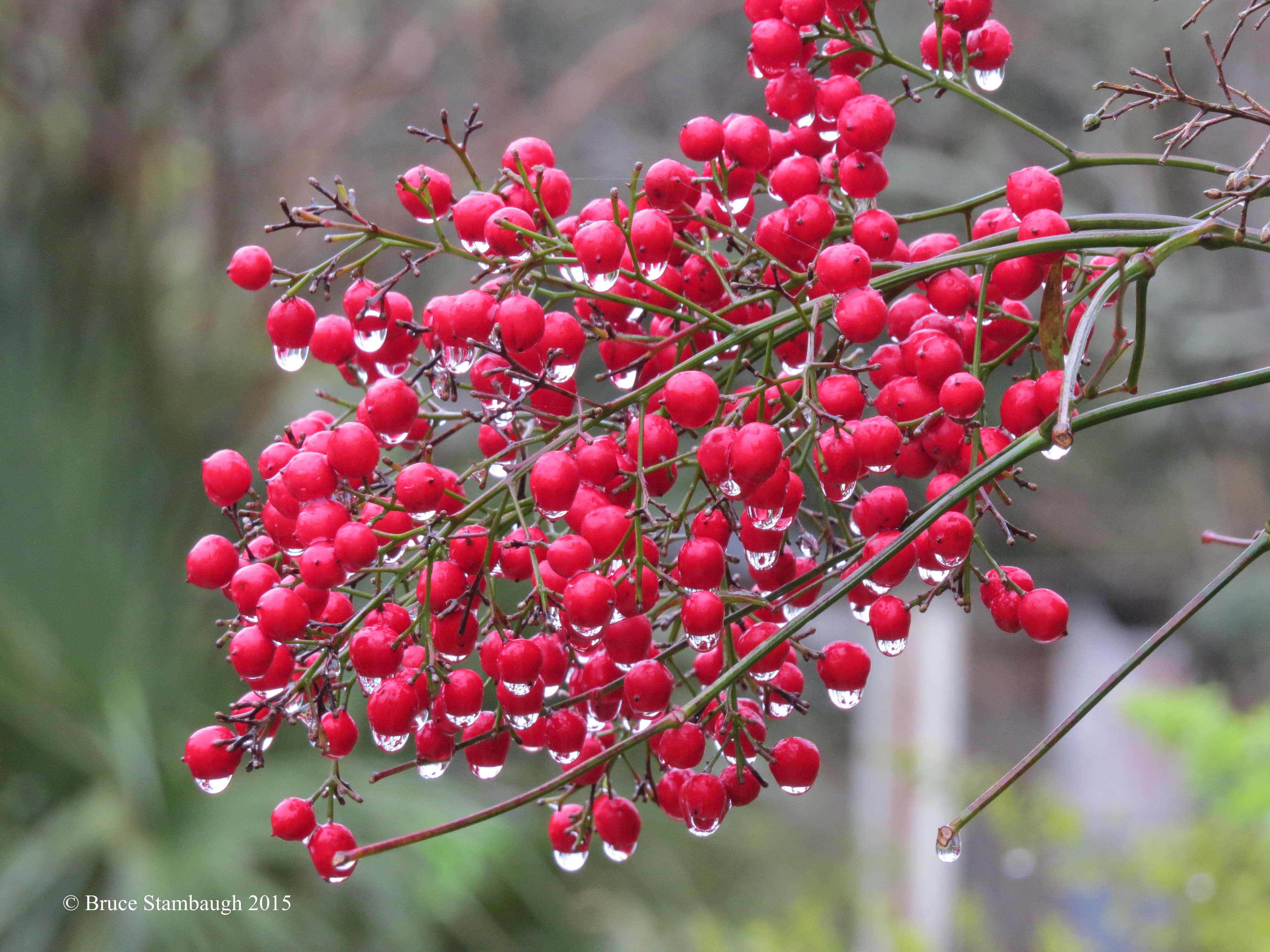 raindrops on berries, color contrasts