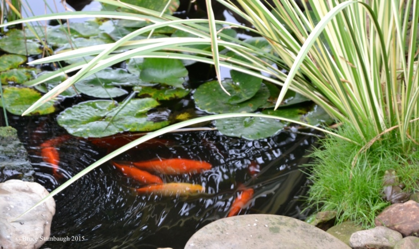 goldfish and bull frog