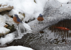 Bluebirds on ice. © Bruce Stambaugh 2015