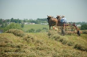 raking hay, Amish, making hay