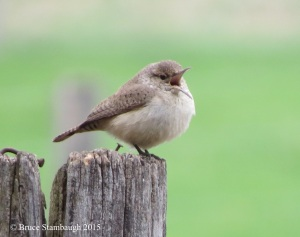 Rock Wren, rare birds, spring migration