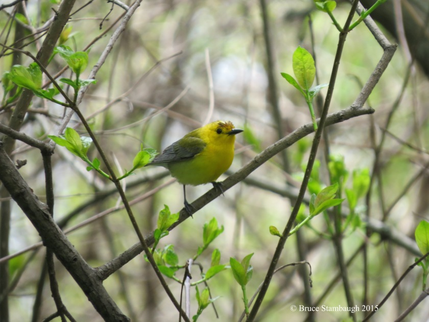 prothonotary warbler, warblers
