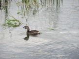 Pied-billed Grebe. © Bruce Stambaugh 2015
