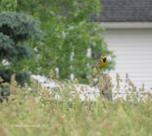 eastern meadowlark, songbirds
