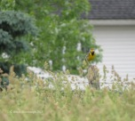 Eastern Meadowlark.
