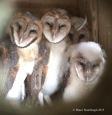 Barn Owls, baby barn owls