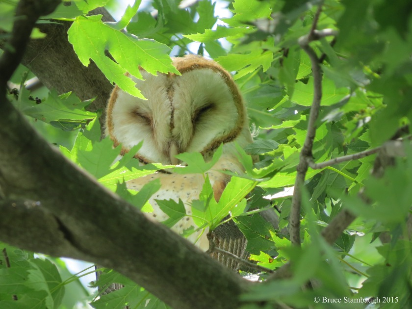 sleeping barn owl, juvenile barn owl