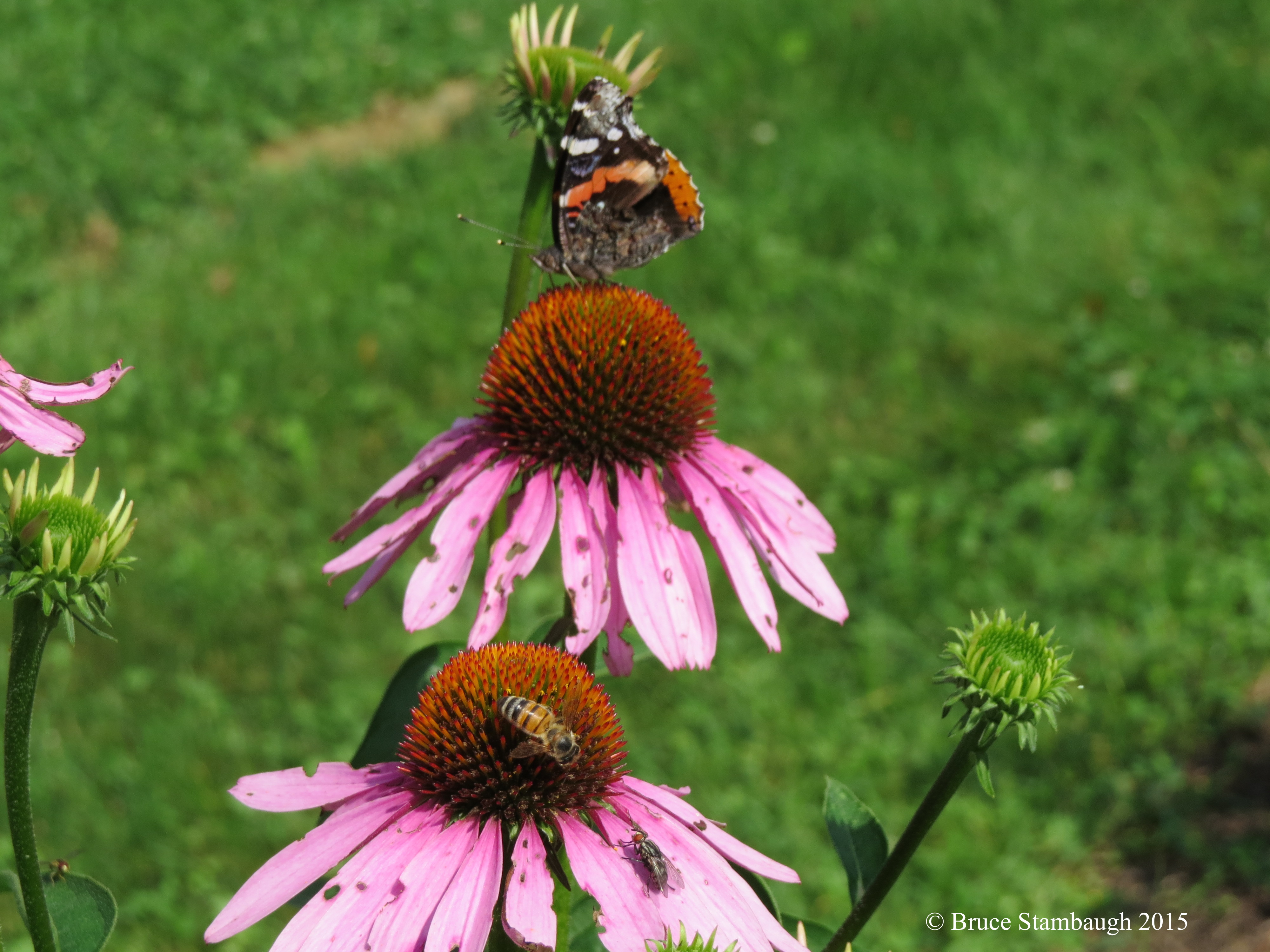 insects, coneflowers