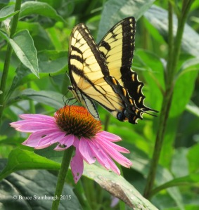 Tiger Swallowtail, Conflower