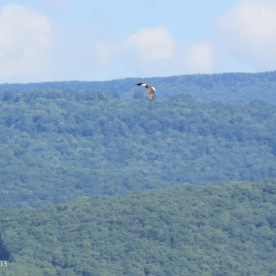bald eagle Seneca Rocks