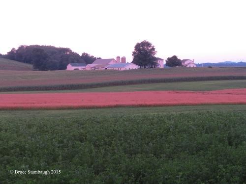 August sunset, grain field