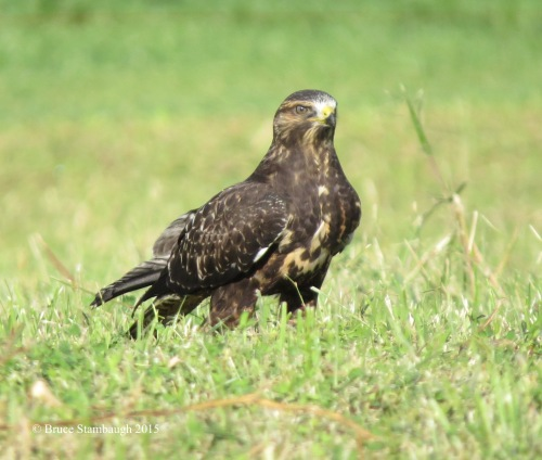 Swainson's Hawk, Holmes Co. OH